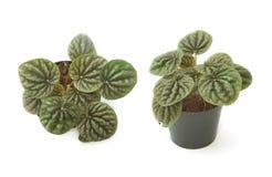 Alloggi la vista frontale della pianta in vaso della pianta e la vista superiore Immagini Stock