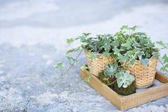 Alloggi le piante, succulenti verdi in una scatola di legno su un counte del metallo Immagine Stock