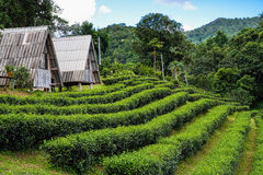 Alloggio presso famiglie nel giardino di tè alla montagna Fotografie Stock