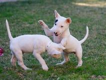 Alloggio ruvido dei cuccioli di bull terrier sull'erba Fotografia Stock