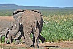 Allontanandosi, gruppo dell'elefante africano Fotografia Stock Libera da Diritti