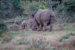 Allontanarsi bianco di rinoceronte del bambino e della madre Immagine Stock Libera da Diritti