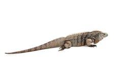Allontanarsi blu dell'iguana di Grand Cayman Fotografie Stock Libere da Diritti