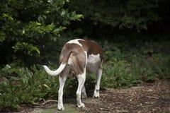 Allontanarsi del cane Immagini Stock