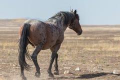 Allontanarsi del cavallo selvaggio Fotografia Stock