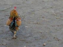 Allontanarsi del gallo Fotografia Stock