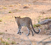 Allontanarsi del leopardo Fotografia Stock