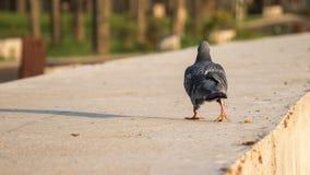 Allontanarsi del piccione Immagini Stock Libere da Diritti