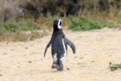 Allontanarsi del pinguino di Magellanic, ondeggiante arrivederci Riserva di Punta Tombo, Argentina Immagine Stock