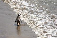 Allontanarsi del pinguino di Magellanic, ondeggiante arrivederci Riserva di Punta Tombo, Argentina Fotografie Stock