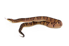 Allontanarsi del serpente di Bushmaster del centroamericano Immagini Stock Libere da Diritti