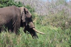 Allontanarsi dell'elefante africano Fotografia Stock