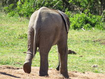 Allontanarsi dell'elefante del bambino Immagine Stock Libera da Diritti