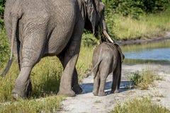 Allontanarsi dell'elefante del bambino e della madre Immagini Stock