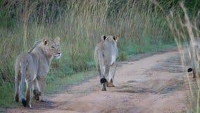 Allontanarsi della famiglia del leone Immagine Stock Libera da Diritti