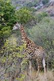 Allontanarsi della giraffa Immagini Stock