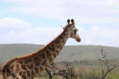 Allontanarsi della giraffa Fotografia Stock