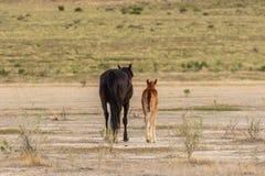 Allontanarsi della giumenta e del puledro del cavallo selvaggio Fotografia Stock Libera da Diritti