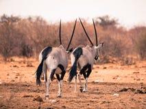 Allontanarsi di due antilopi del gemsbok Fotografie Stock Libere da Diritti