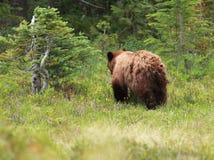 Allontanarsi giovanile dell'orso nero Fotografia Stock