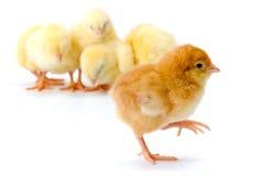 Allontanarsi marrone neonato del pollo Fotografia Stock Libera da Diritti
