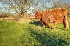 Allontanarsi massiccio della mucca dell'altopiano Fotografia Stock
