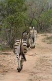 Allontanarsi posteriore del ` s della zebra nella savanna Immagini Stock Libere da Diritti