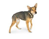 Allontanarsi timido spaventato del cane di salvataggio Immagini Stock Libere da Diritti