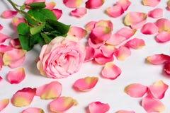 Allontanato è aumentato con i petali sparsi Fotografia Stock Libera da Diritti
