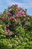 Alloro di montagna e rododendro di Catawba Immagine Stock