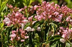 Alloro di montagna (latifolia di Kalmia) Fotografia Stock