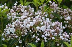 Alloro di montagna (latifolia di Kalmia) Fotografie Stock