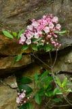 Alloro di montagna (latifolia di Kalmia) Immagine Stock