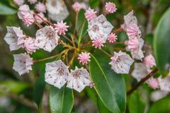 Alloro di montagna (latifolia di Kalmia) Immagini Stock