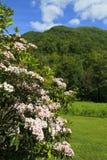 Alloro di montagna nella primavera Immagine Stock Libera da Diritti
