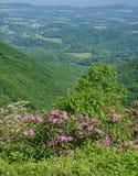 Alloro di montagna, rododendro di Catawba e Shenandoah Valley Immagini Stock Libere da Diritti