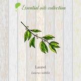 Alloro, etichetta dell'olio essenziale, pianta aromatica Fotografia Stock Libera da Diritti
