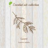 Alloro, etichetta dell'olio essenziale, pianta aromatica Immagini Stock