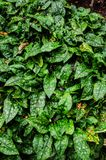 Alloro macchiato, piante dorate della polvere Fotografie Stock