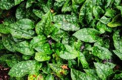 Alloro macchiato, piante dorate della polvere Immagine Stock