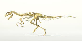 Allosaurus dinosaur photo-realistic skeleton. Scientifically correct rendering, at white background and drop shadow, with clipping path Royalty Free Stock Images