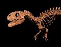 Allosaurusskelett som isoleras på svart Arkivbild