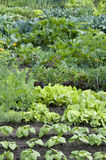 Allotment Garden Bed Stock Photography