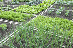Allotment Garden Bed royalty free stock photo