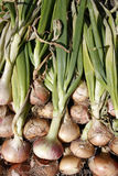 Allotment grown organic onions Stock Photos