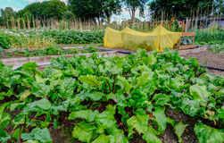 Allotment plot with a crop of beetroot. Royalty Free Stock Image