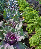 Allotment,rows of vegetables. stock images