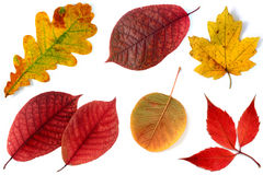 Allsorts of autumn leaves on a white background 3 Royalty Free Stock Image