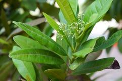 Allspice Tree, Pimenta dioica Royalty Free Stock Image