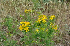 St. Johns Wort royalty free stock image
